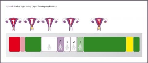 Funkcje szyjki macicy iśluzu szyjki macicy, miesiączka, dni niepłodności przedowulacyjnej, dni płodne iowulacja, okres niepłodności poowulacyjnej